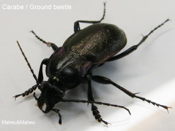 insecte de maison au quebec ventana blog. Black Bedroom Furniture Sets. Home Design Ideas