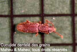 Cucujide dentelé des grains