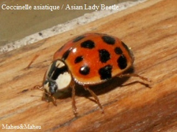 Lady Beetle